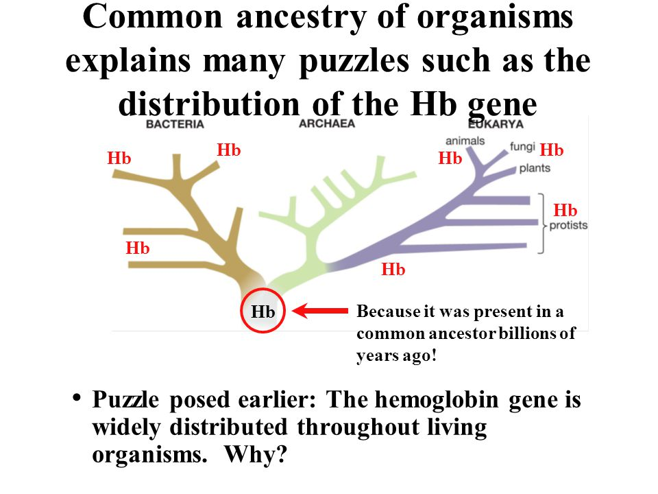 Common ancestry of organisms explains many puzzles such as the distribution of the Hb gene