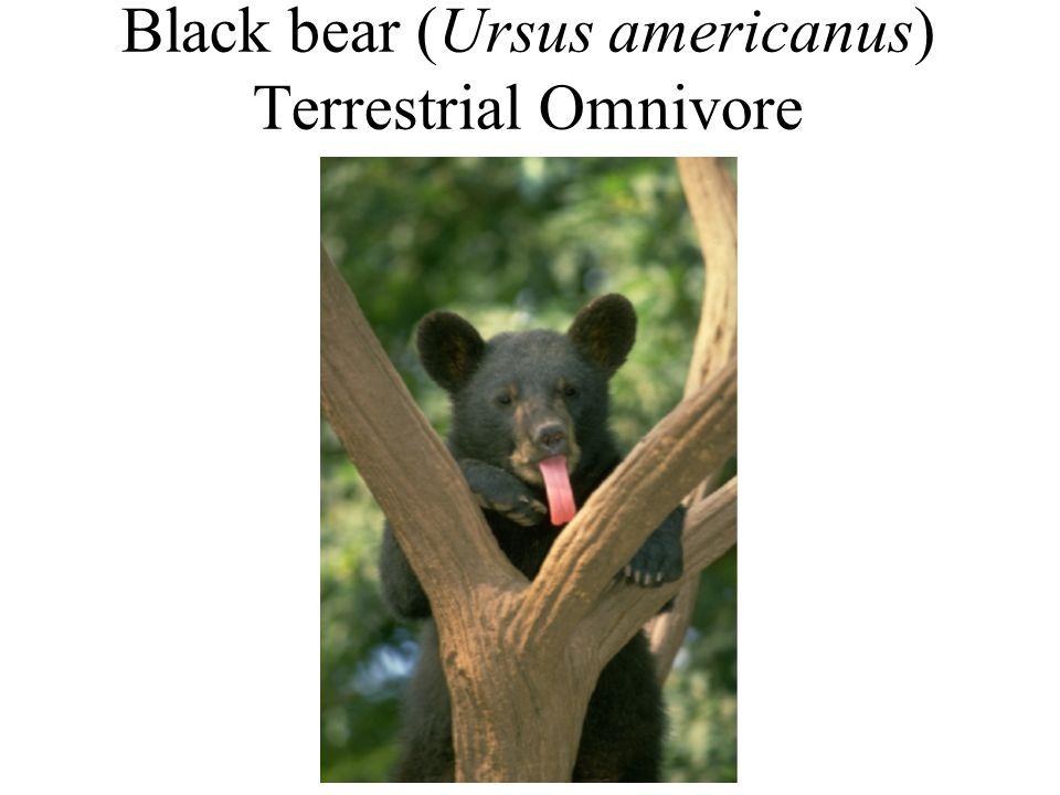 Black bear (Ursus americanus) Terrestrial Omnivore