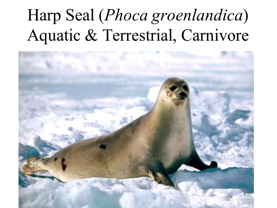 Harp Seal (Phoca groenlandica) Aquatic & Terrestrial, Carnivore