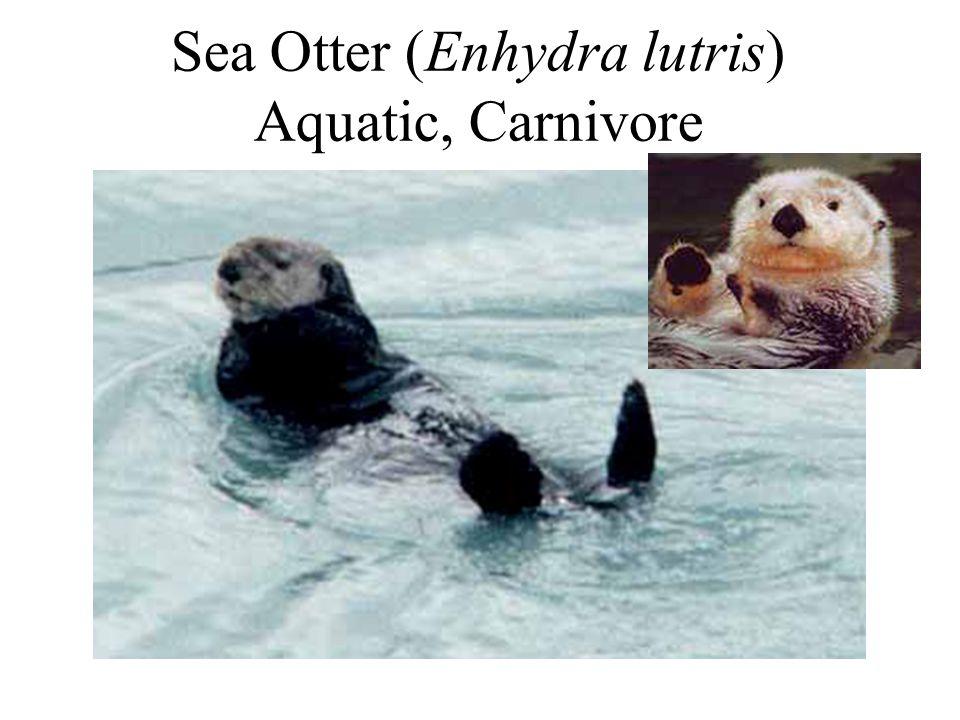Sea Otter (Enhydra lutris) Aquatic, Carnivore