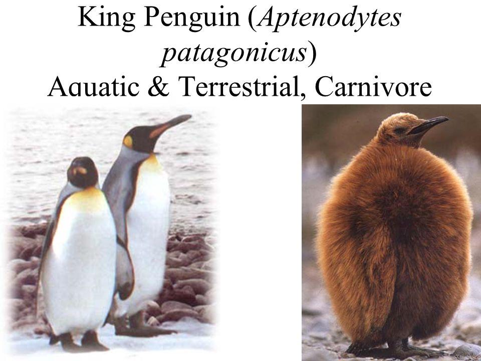 King Penguin (Aptenodytes patagonicus) Aquatic & Terrestrial, Carnivore