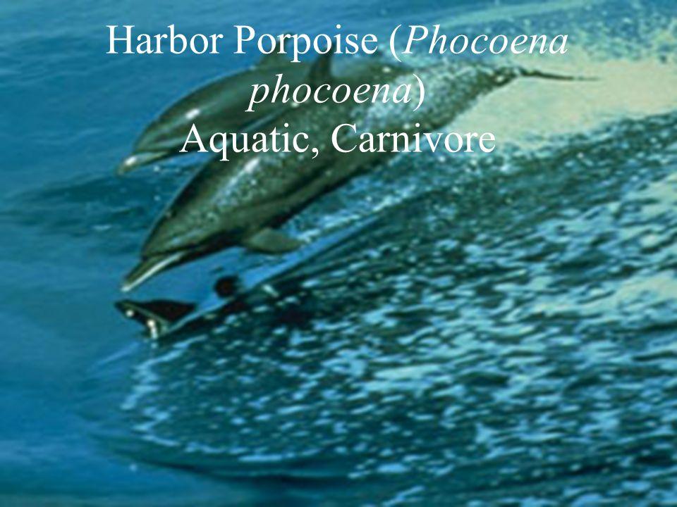 Harbor Porpoise (Phocoena phocoena) Aquatic, Carnivore
