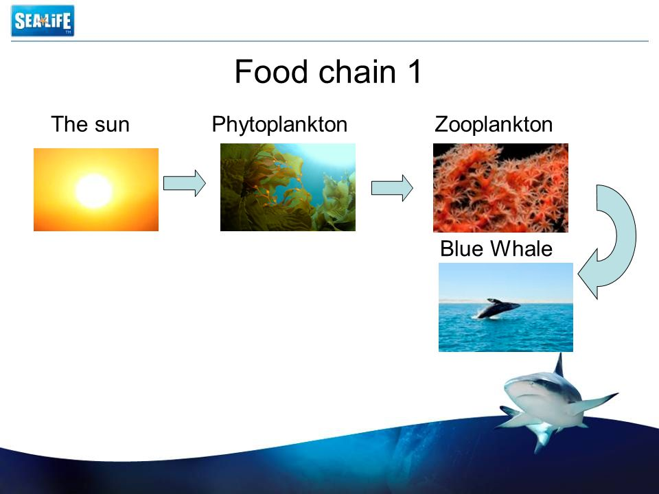 Food chain 1 The sun Phytoplankton Zooplankton Blue Whale