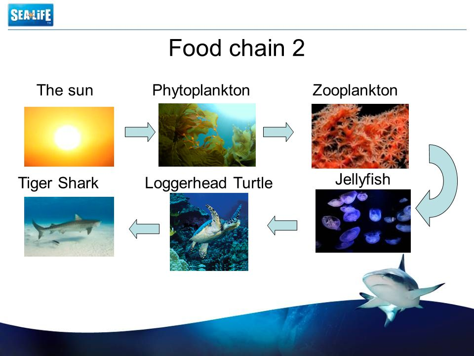 Food chain 2 The sun Phytoplankton Zooplankton Jellyfish Tiger Shark