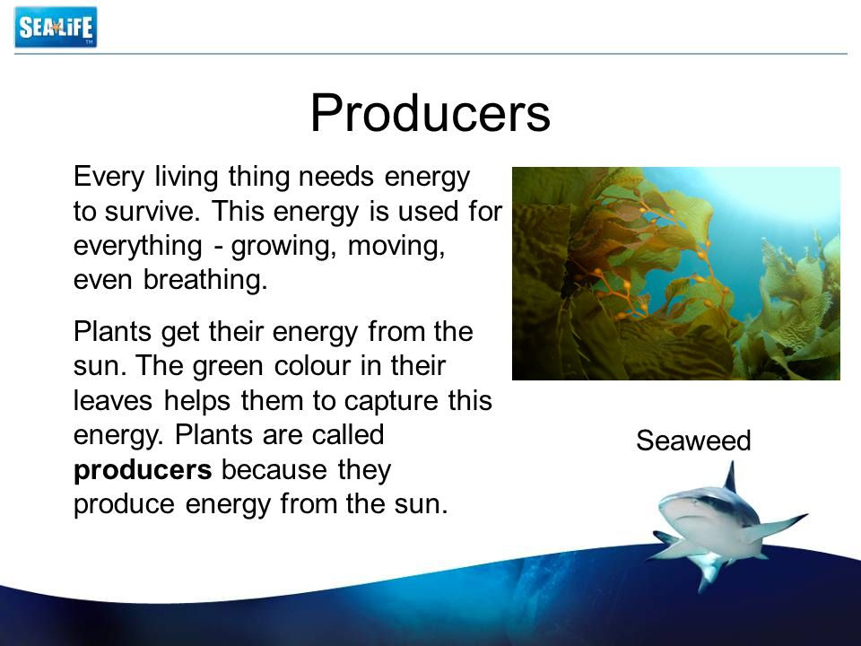 Producers Every living thing needs energy to survive. This energy is used for everything - growing, moving, even breathing.
