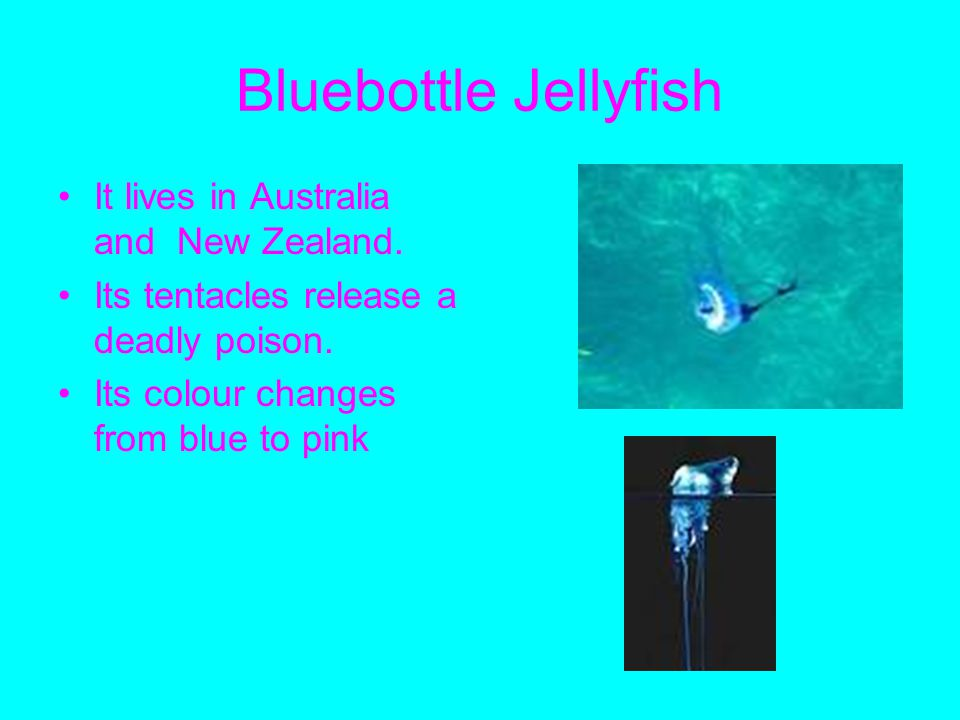 Bluebottle Jellyfish It lives in Australia and New Zealand.