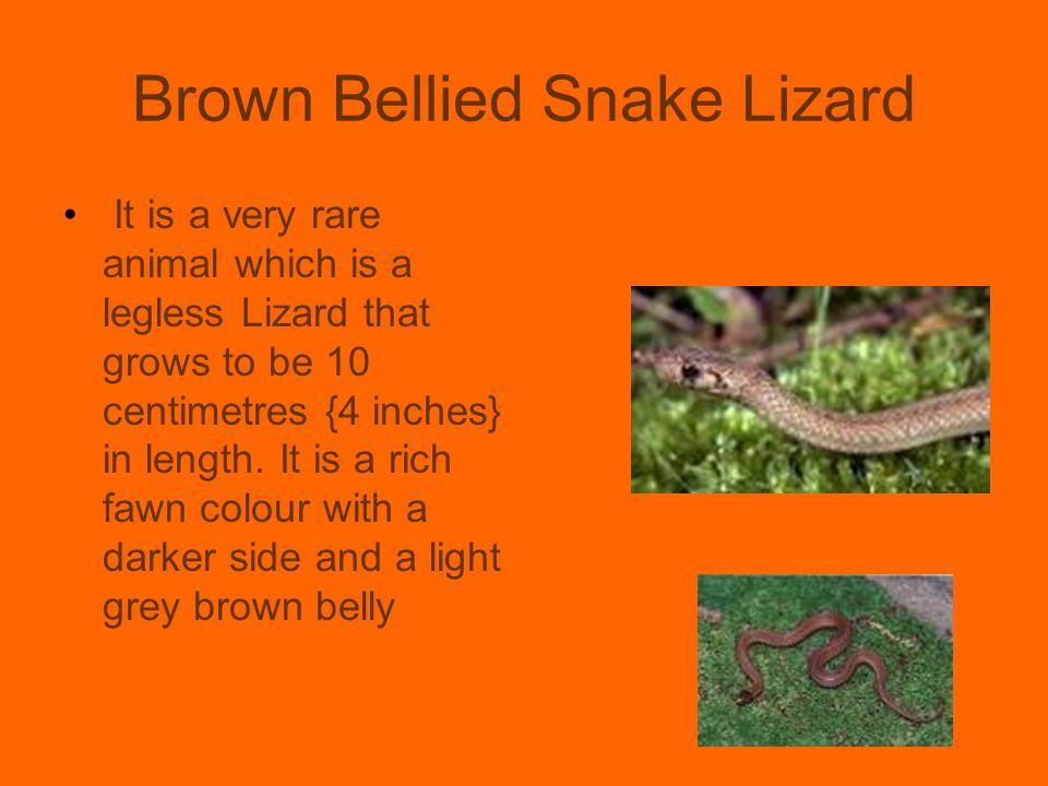 Brown Bellied Snake Lizard