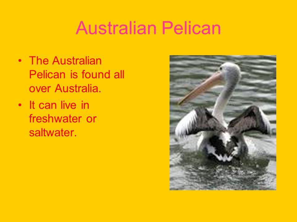 Australian Pelican The Australian Pelican is found all over Australia.