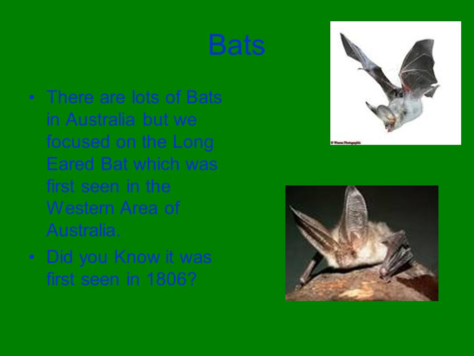 Bats There are lots of Bats in Australia but we focused on the Long Eared Bat which was first seen in the Western Area of Australia.