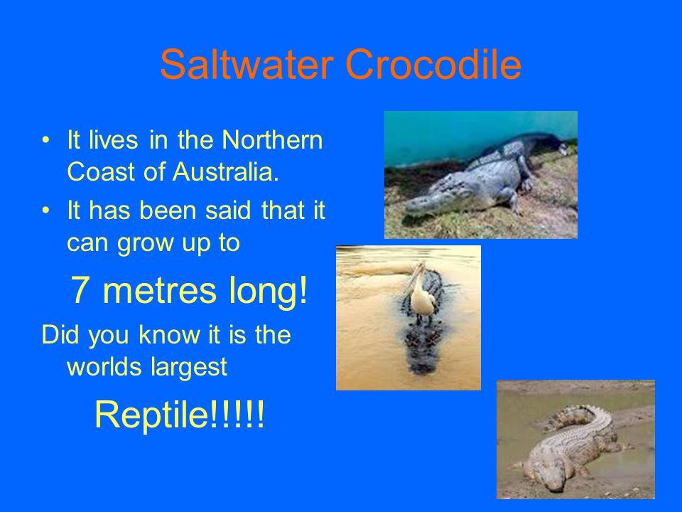Saltwater Crocodile Reptile!!!!!