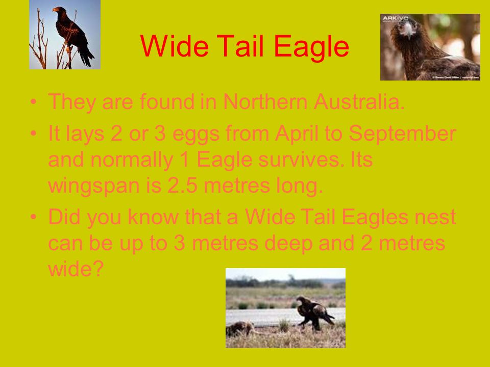 Wide Tail Eagle They are found in Northern Australia.