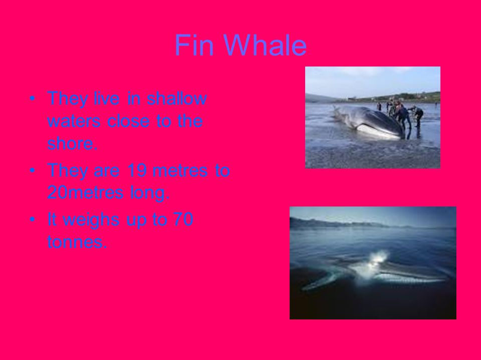 Fin Whale They live in shallow waters close to the shore.