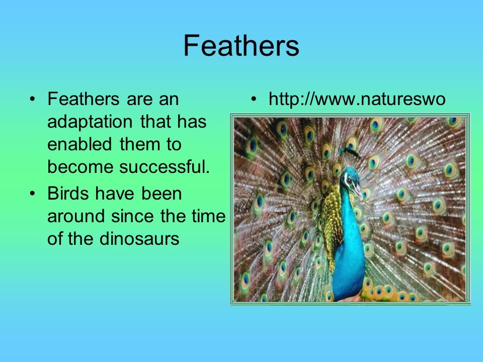 Feathers Feathers are an adaptation that has enabled them to become successful. Birds have been around since the time of the dinosaurs.