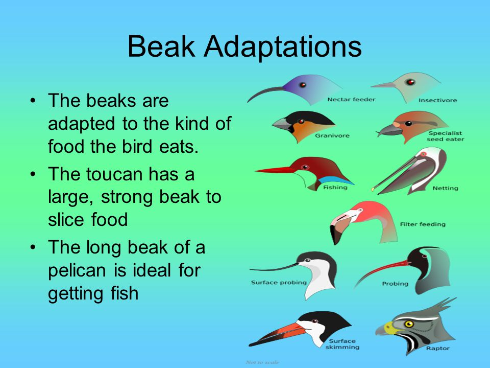 Beak Adaptations The beaks are adapted to the kind of food the bird eats. The toucan has a large, strong beak to slice food.