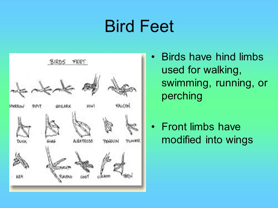Bird Feet Birds have hind limbs used for walking, swimming, running, or perching.