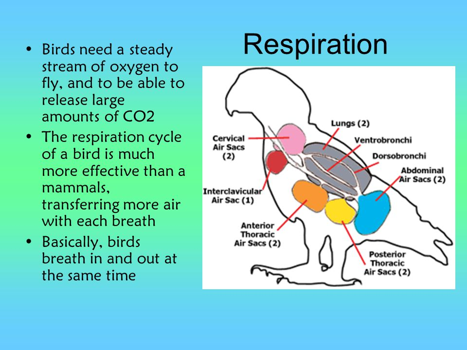 Respiration Birds need a steady stream of oxygen to fly, and to be able to release large amounts of CO2.