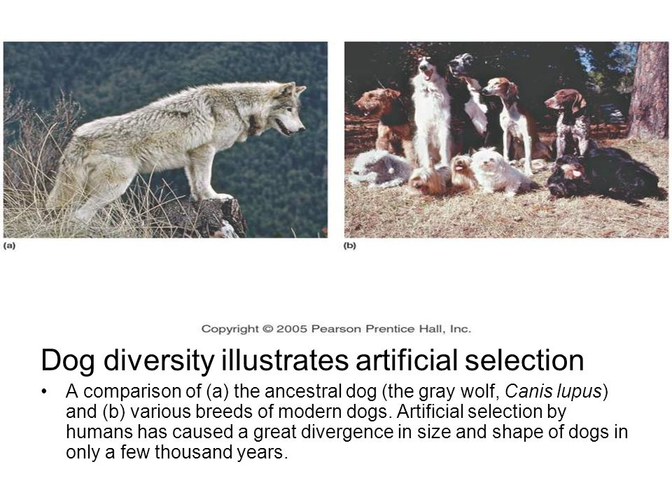 Dog diversity illustrates artificial selection