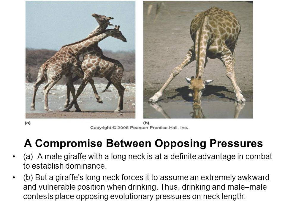 A Compromise Between Opposing Pressures
