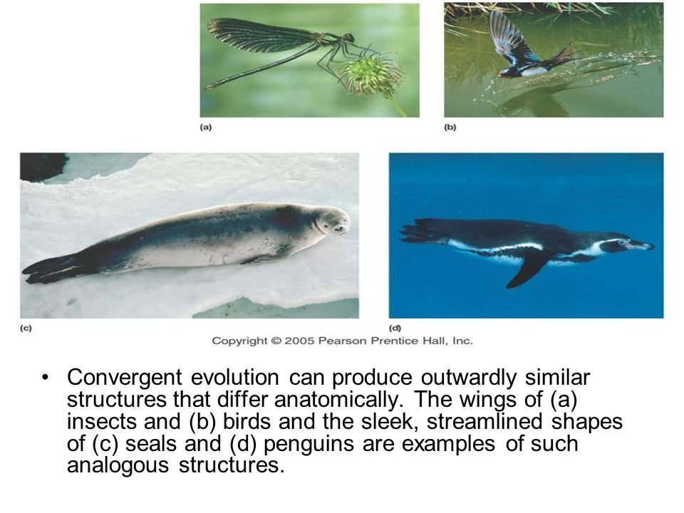 Convergent evolution can produce outwardly similar structures that differ anatomically.