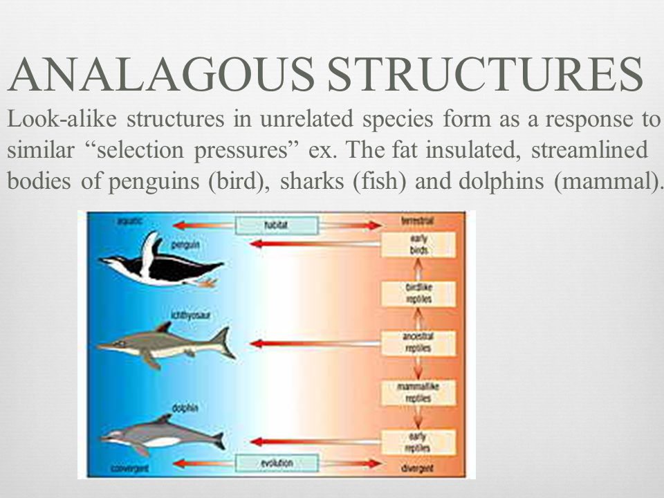 ANALAGOUS STRUCTURES Look-alike structures in unrelated species form as a response to.