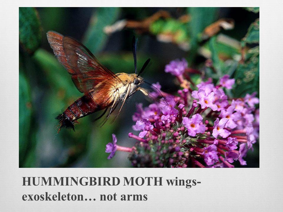 HUMMINGBIRD MOTH wings-