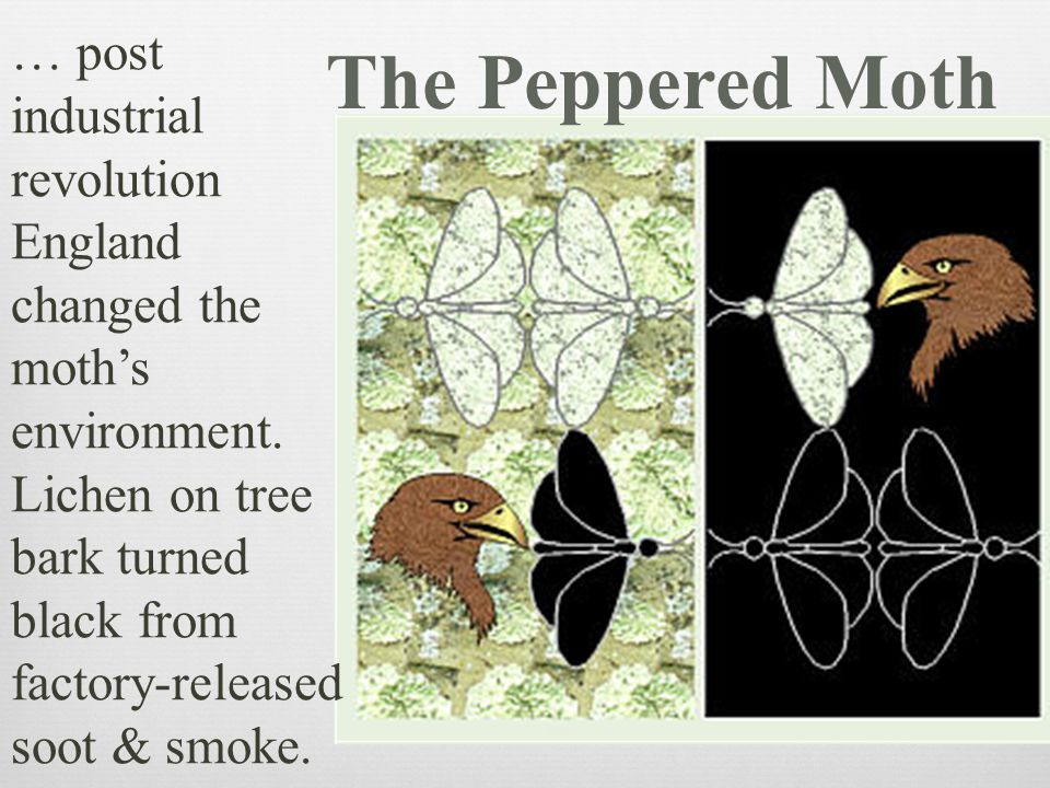 … post industrial revolution England changed the moth's environment