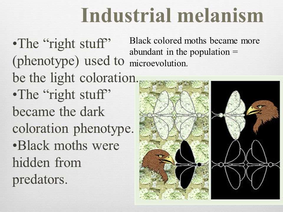 Industrial melanism The right stuff (phenotype) used to be the light coloration. The right stuff became the dark coloration phenotype.