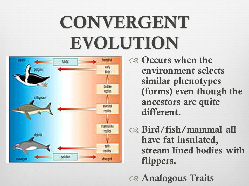 CONVERGENT EVOLUTION Occurs when the environment selects similar phenotypes (forms) even though the ancestors are quite different.