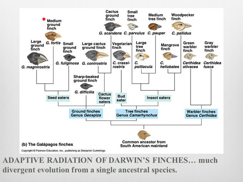 ADAPTIVE RADIATION OF DARWIN'S FINCHES… much divergent evolution from a single ancestral species.