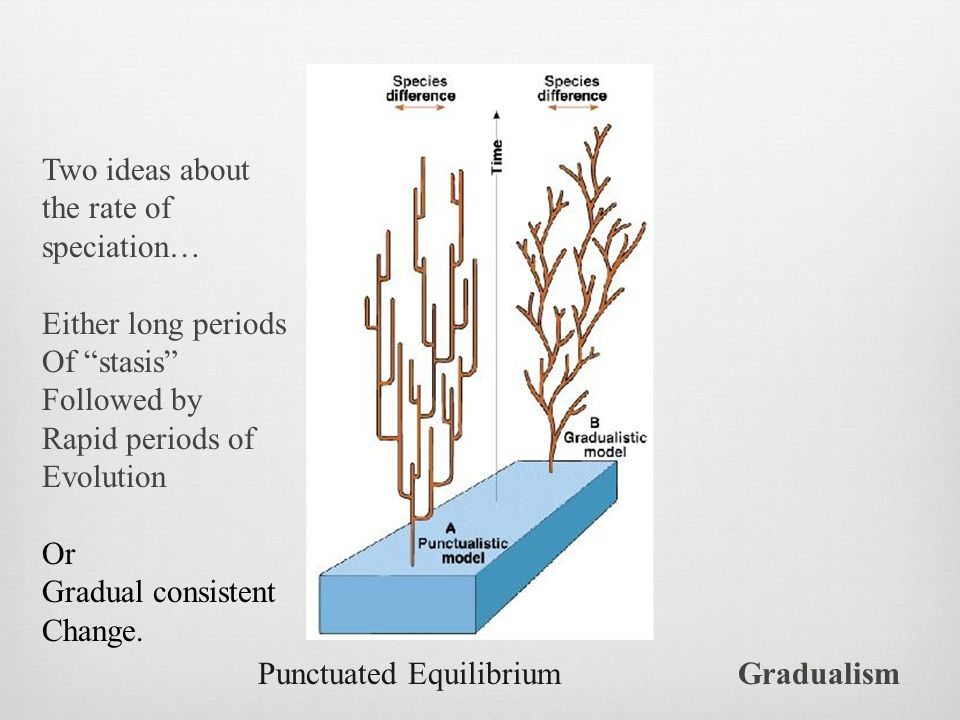 Two ideas about the rate of. speciation… Either long periods. Of stasis Followed by. Rapid periods of.