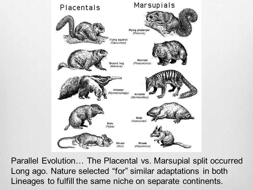 Parallel Evolution… The Placental vs. Marsupial split occurred