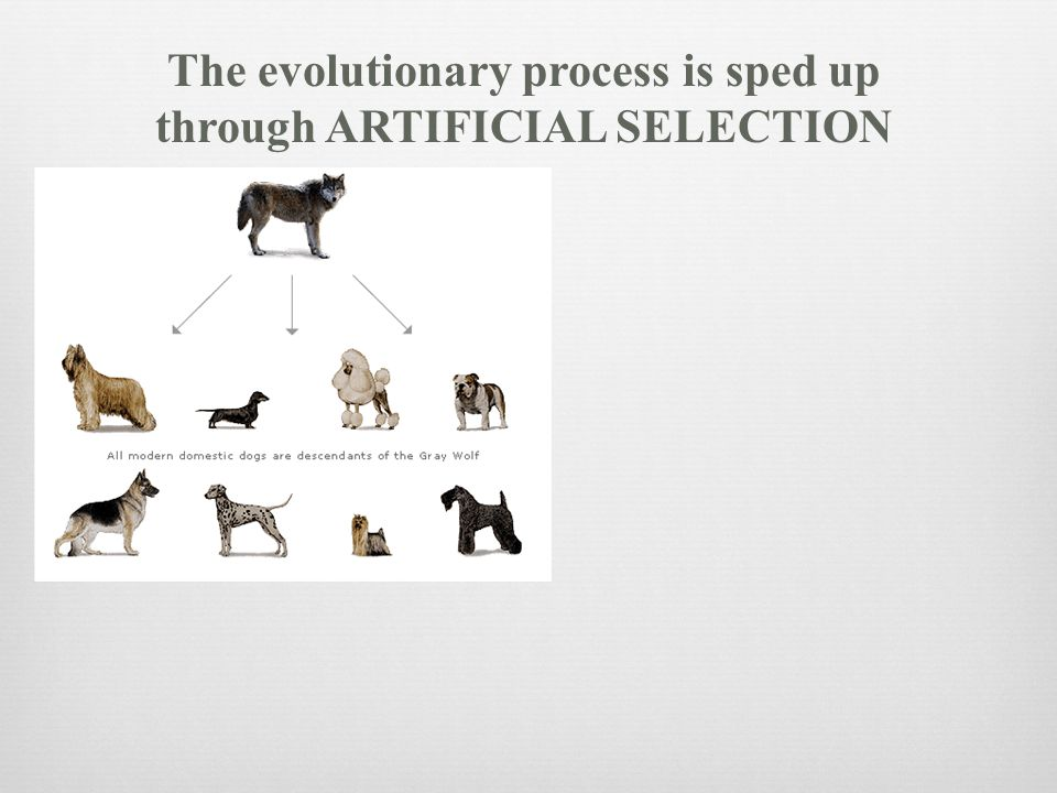 The evolutionary process is sped up through ARTIFICIAL SELECTION