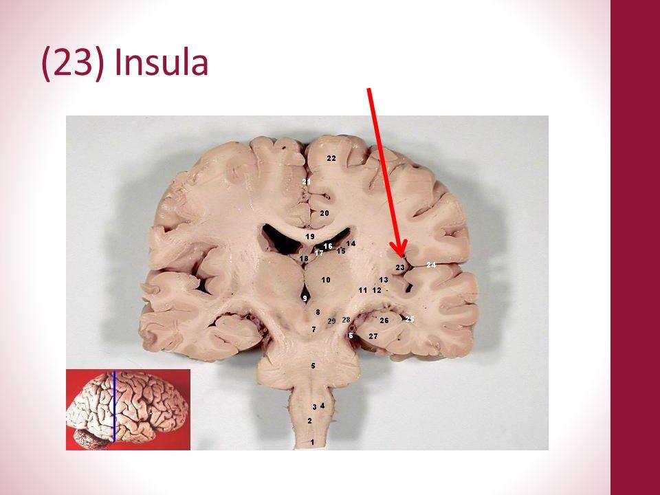 (23) Insula