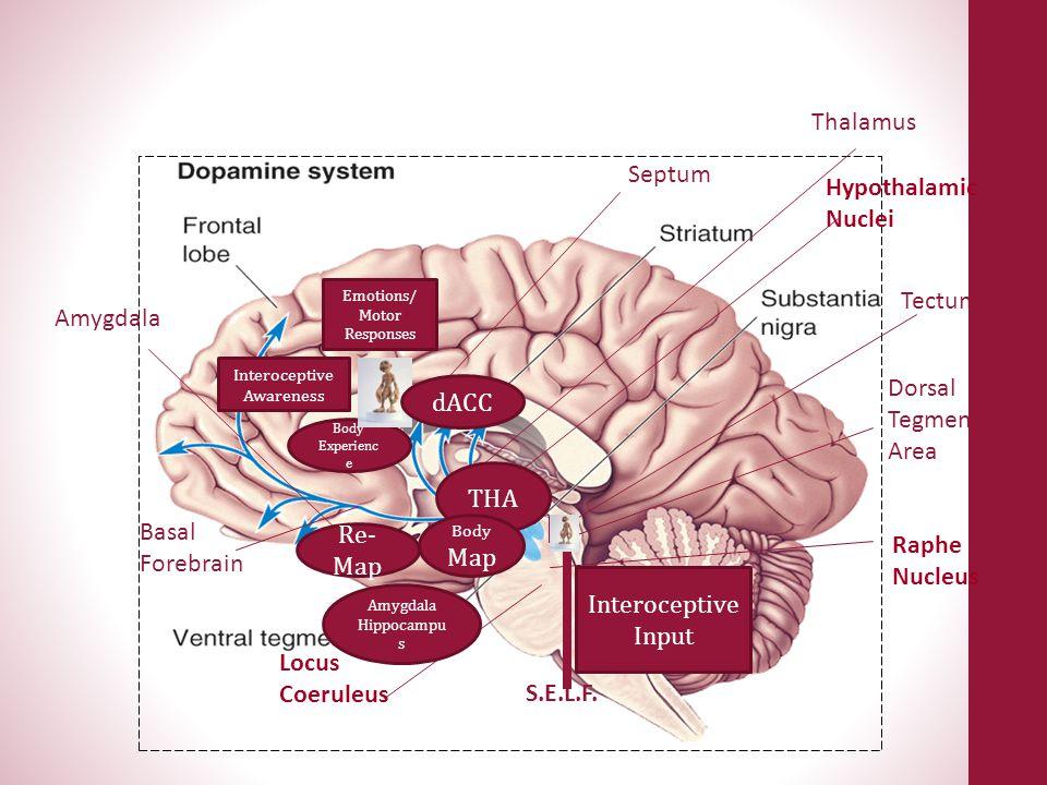Thalamus Septum Hypothalamic Nuclei Tectum Amygdala Dorsal dACC