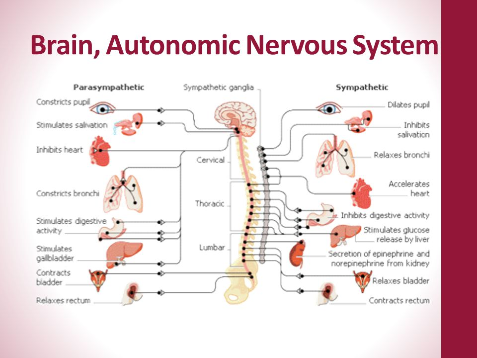 Brain, Autonomic Nervous System