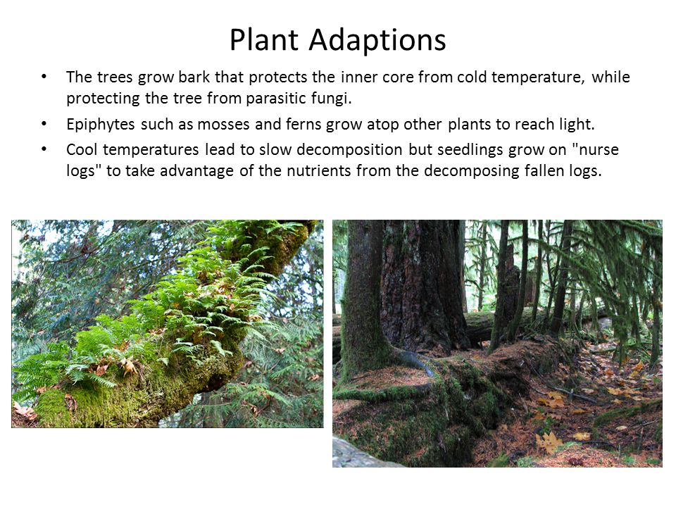 Plant Adaptions The trees grow bark that protects the inner core from cold temperature, while protecting the tree from parasitic fungi.