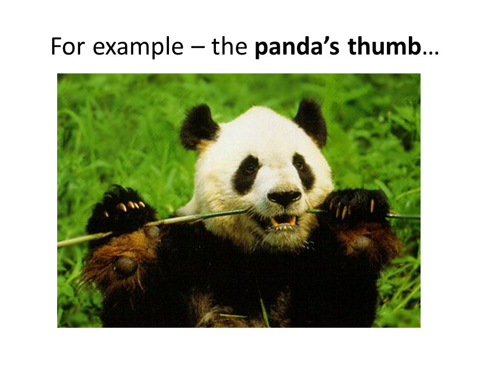 For example – the panda's thumb…