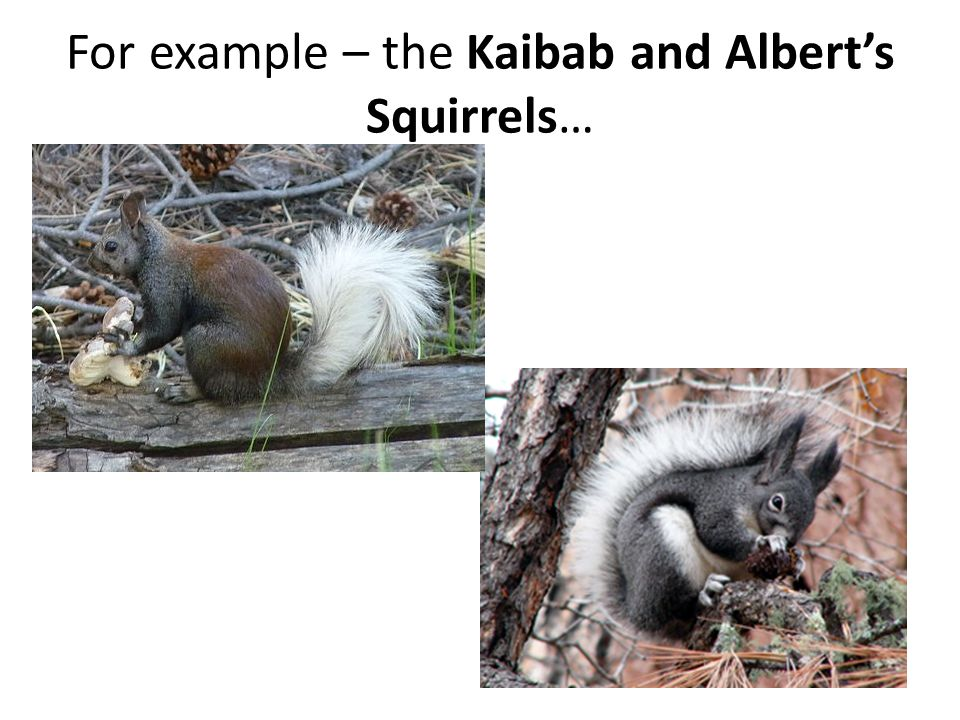 For example – the Kaibab and Albert's Squirrels…
