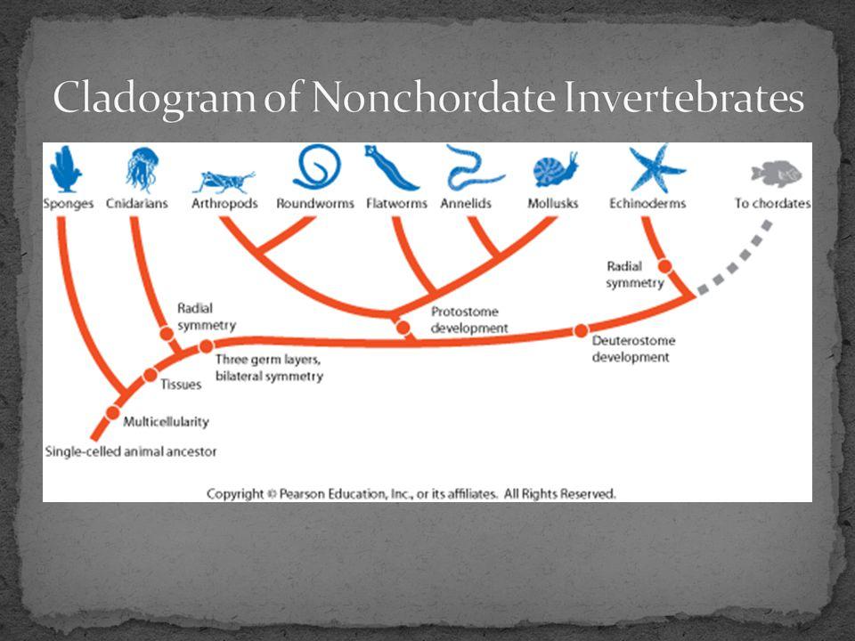Cladogram of Nonchordate Invertebrates
