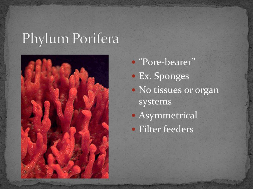 Phylum Porifera Pore-bearer Ex. Sponges No tissues or organ systems