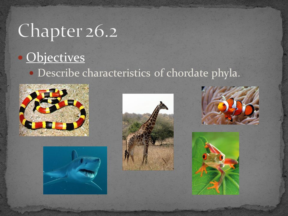 Chapter 26.2 Objectives Describe characteristics of chordate phyla.