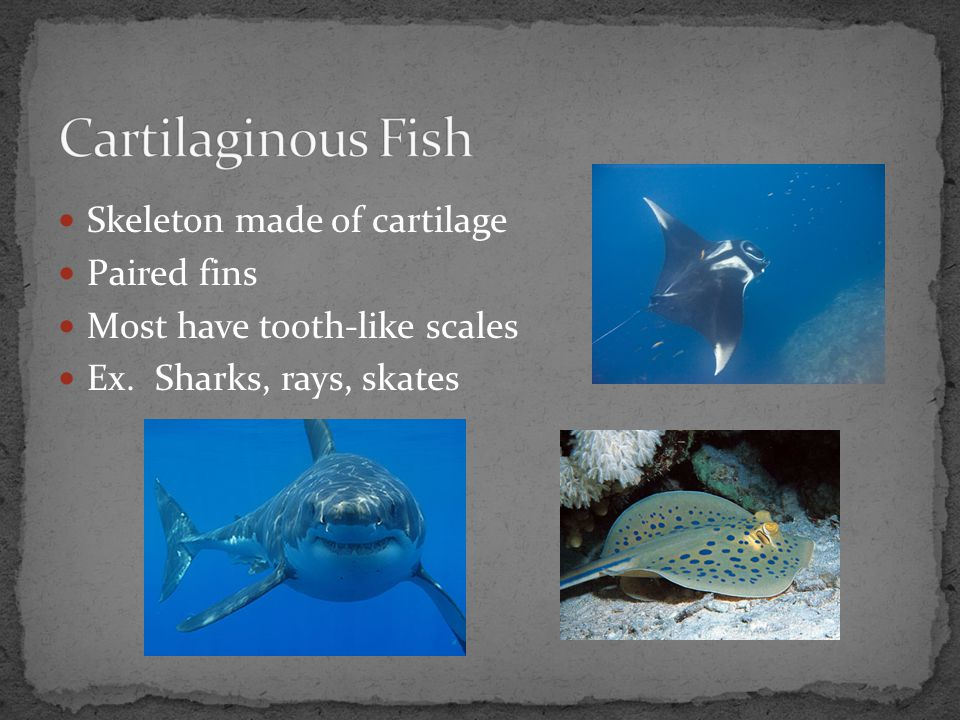 Cartilaginous Fish Skeleton made of cartilage Paired fins