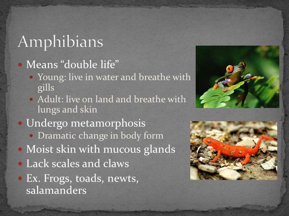 Amphibians Means double life Undergo metamorphosis