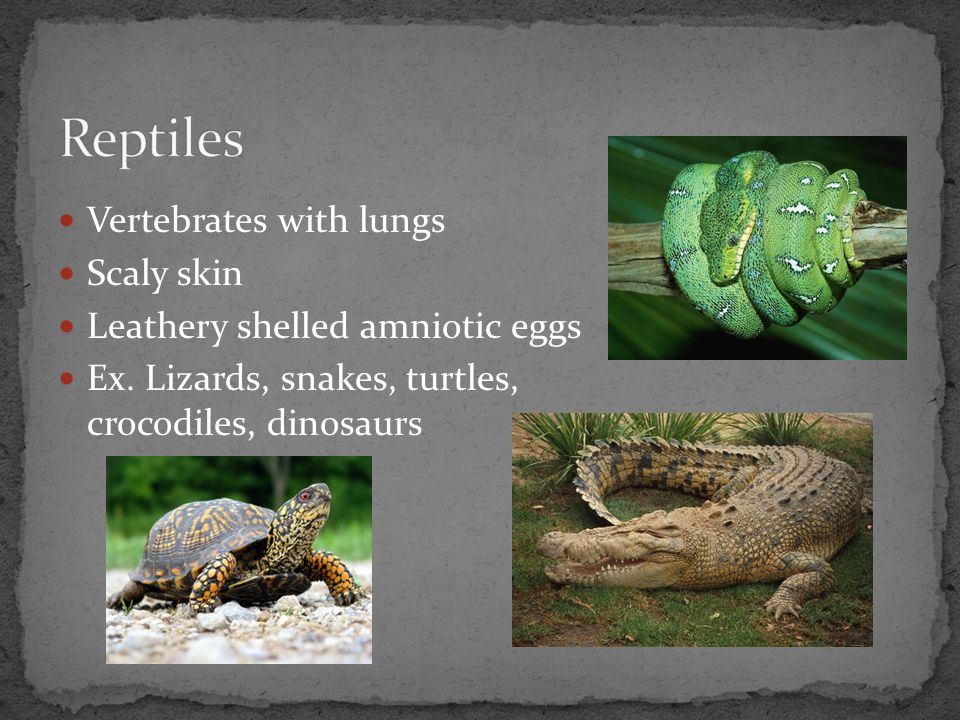 Reptiles Vertebrates with lungs Scaly skin