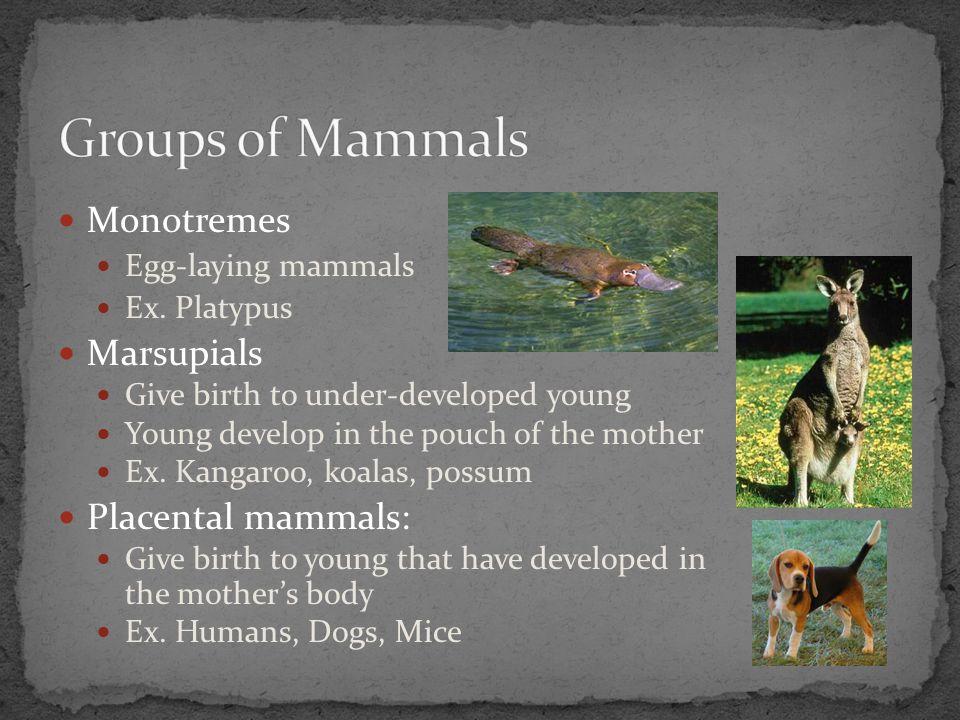 Groups of Mammals Monotremes Marsupials Placental mammals: