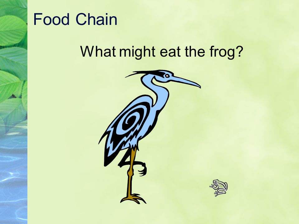 Food Chain What might eat the frog