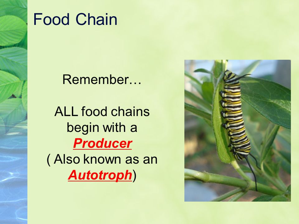 Food Chain Remember… ALL food chains begin with a Producer