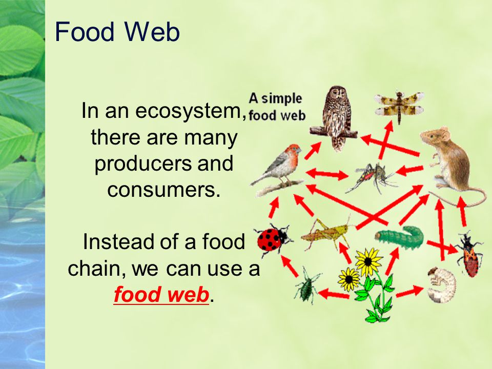 Food Web In an ecosystem, there are many producers and consumers.