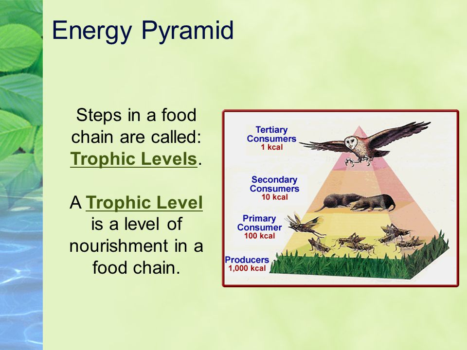 Energy Pyramid Steps in a food chain are called: Trophic Levels.