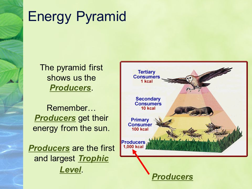 Energy Pyramid The pyramid first shows us the Producers.